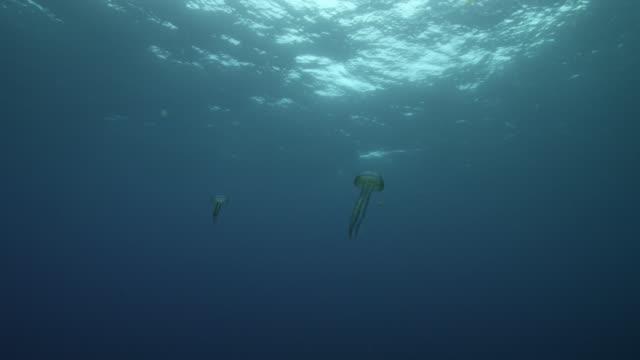 mauve stinger jellyfish swim in ocean, azores - pelagic zone stock videos & royalty-free footage
