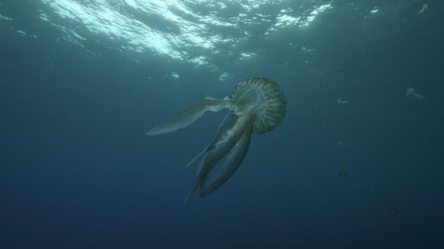 mauve stinger jellyfish swims in ocean, azores - pelagic zone stock videos & royalty-free footage