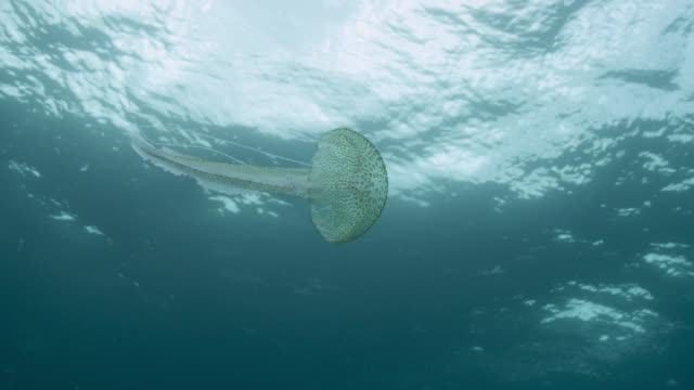 mauve stinger jellyfish swims in ocean, azores - tentacle stock videos & royalty-free footage