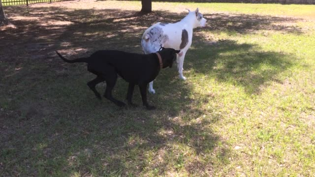 max and ellie are funny great dane dogs and most of the time they share the same passion for life and that is playing games. being huge as they are,... - game show stock videos & royalty-free footage