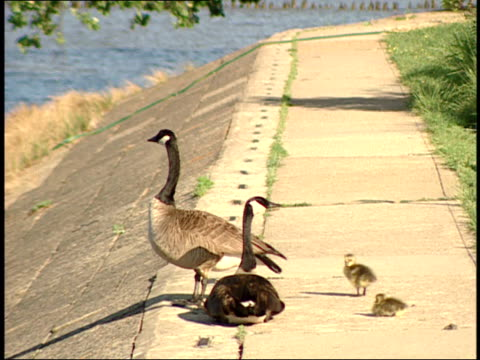 vídeos de stock e filmes b-roll de may 1 2007 geese and goslings on sidewalk / jamestown virginia united states - jamestown virginia