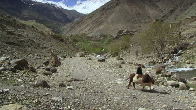 May 1 2009 WS Boy walking with ox between Hindu Kush mountains / Panjshir Valley Afghanistan