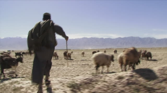 May 1 2009 WS POV Teenage herder running between cattle / Bagram Afghanistan