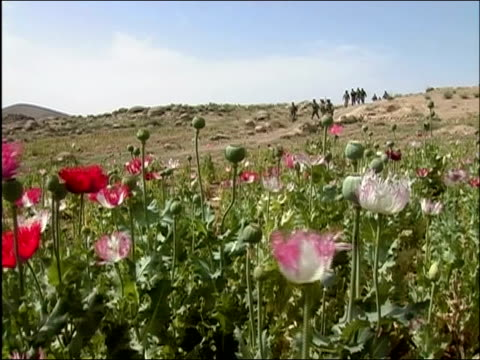 may 2004 wide shot us troops walking downhill with field of poppies in foreground / oruzgan province aghanistan / audio - operazione enduring freedom video stock e b–roll