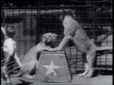 may 24, 1934 ws boy with chair and whip in cage swatting at two lions / thousand oaks, california, united states - mittelgroße tiergruppe stock-videos und b-roll-filmmaterial