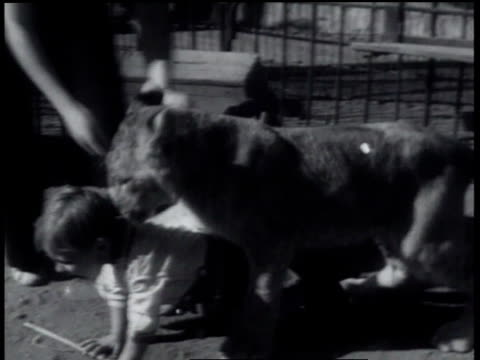 may 24, 1934 montage boy with chair and whip in cage pets lion / thousand oaks, california, united states - mittelgroße tiergruppe stock-videos und b-roll-filmmaterial