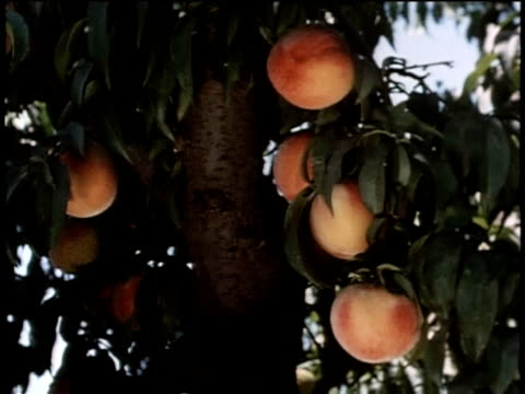 may 27, 1963 ws man picks peaches from a tree and then carries a bucket of peaches to a storage container / united states - peach stock videos & royalty-free footage