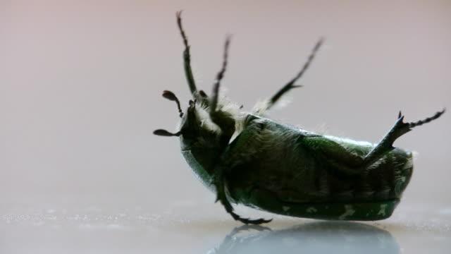 stockvideo's en b-roll-footage met may beetle breake - voelspriet