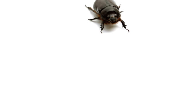 may bug walks forward on white background - animal antenna stock videos & royalty-free footage