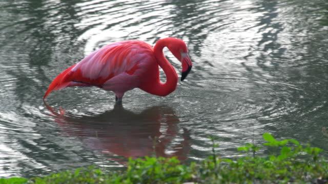 mayajigua lakes: a beautiful flamingo bird in low water - water bird stock videos & royalty-free footage