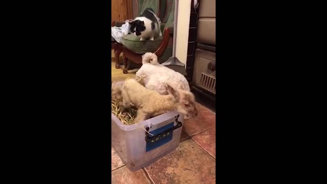 maybe it's because he has a fluffy white coat himself, but johnny the farm dog sure is fond of a young lamb. mary duffy recorded this footage of... - livestock stock videos & royalty-free footage