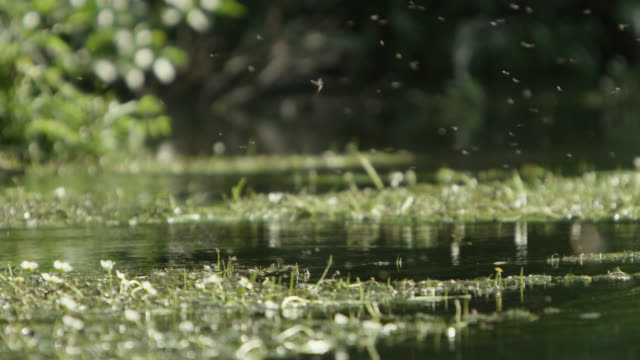 mayfly (ephemeroptera) flies over river, wiltshire, england - emergence stock videos & royalty-free footage