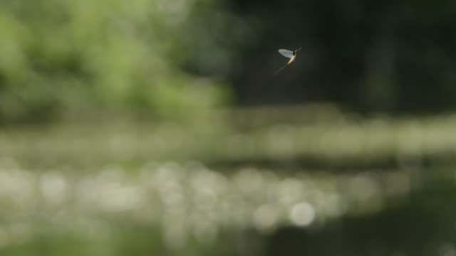 mayfly (ephemeroptera) flies over river, wiltshire, england - appearance stock videos & royalty-free footage