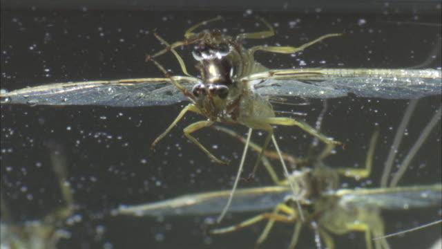 a mayfly floats on the surface of a river. - gliedmaßen körperteile stock-videos und b-roll-filmmaterial