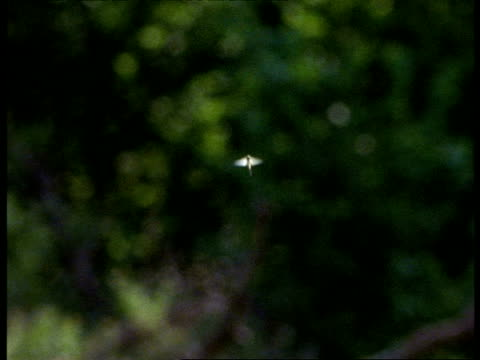 mayfly, ms flying in front of soft focus tree, england - soft focus stock videos & royalty-free footage