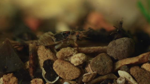 Mayfly (Ephemeroptera) larva on river bed, Wiltshire, England