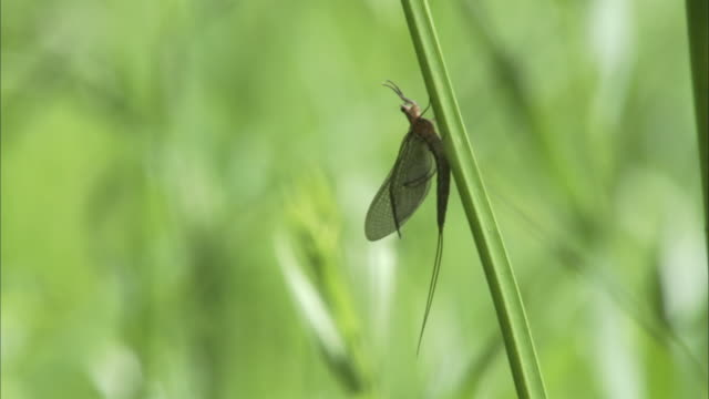 a mayfly perches on a spear of grass as a ladybug crawls past. - zweiflügler stock-videos und b-roll-filmmaterial