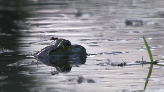 a mayfly rests on a frog that is partially submerged in a pond. - pond stock videos & royalty-free footage