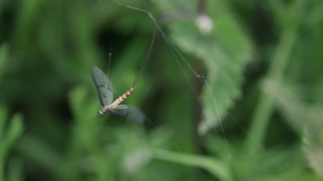 mayfly (ephemeroptera) trapped in silk spider web, wiltshire, england - trapped stock videos & royalty-free footage