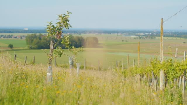 晴れた日のdsメドウとブドウ園 - ワイドショット点の映像素材/bロール
