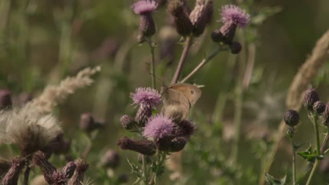 Meadow brown butterfly (Maniola jurtina) feeds in summer hay meadow, Essex, England