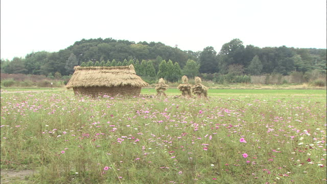 a meadow filled with cosmos flowers surround a haystack. - hay stack stock videos & royalty-free footage