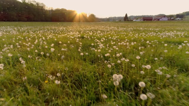 aerial slo mo meadow full of dandelions - field stock videos & royalty-free footage