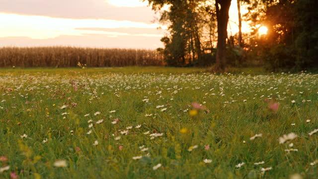 野生の花と夕暮れ時のトウモロコシ畑でいっぱいのdsメドウ - デイジー点の映像素材/bロール