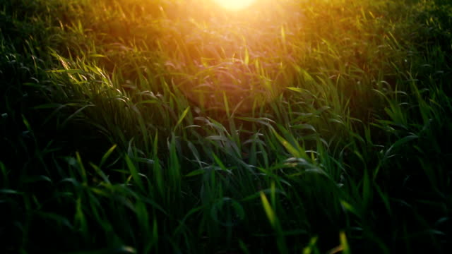Meadow, grass and wheat field during sunset