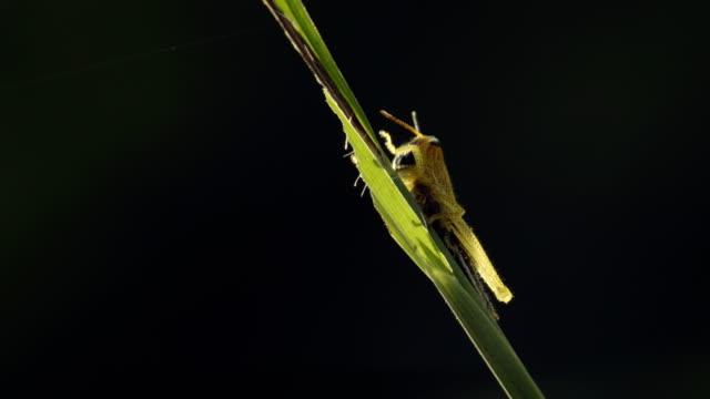 草原バッタは草ブレード上に座っているし、草を食べる。 - blade of grass点の映像素材/bロール