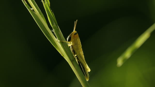 meadow grasshopper sits on grass blade. - blade of grass stock videos & royalty-free footage