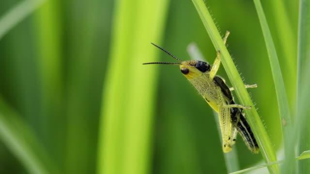 草原バッタは草ブレード上に座っています。 - blade of grass点の映像素材/bロール
