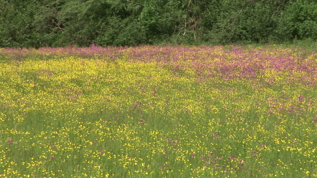 stockvideo's en b-roll-footage met hd: meadow in spring - ranonkel
