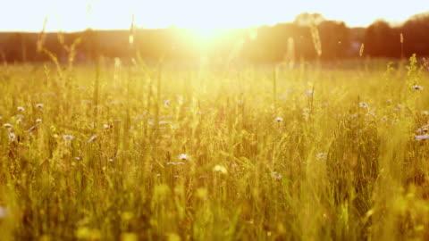 ds-wiese im sonnenuntergang - grass stock-videos und b-roll-filmmaterial