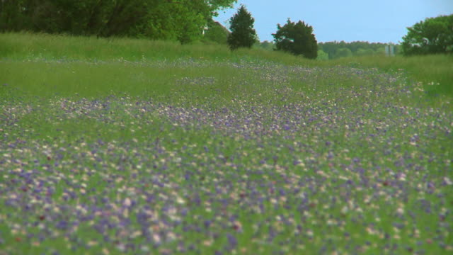 WS R/F Meadow of Cornflowers moving in breeze, Eastville, Virginia, USA