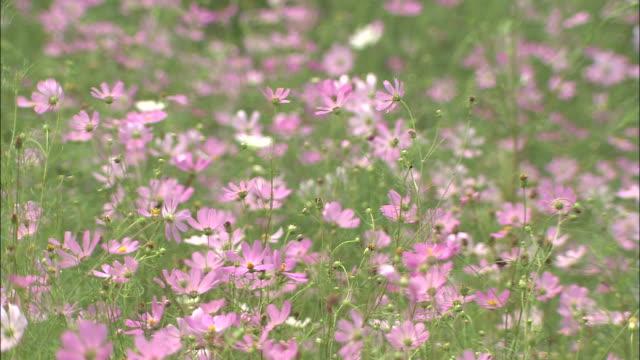 Meadow of cosmos flowers gently swaying in summer breeze, Ninomiya, Kanagawa