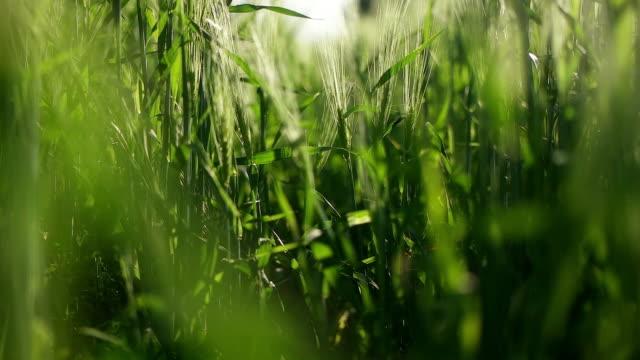vídeos de stock e filmes b-roll de meadow of wheat. - objeto pontudo