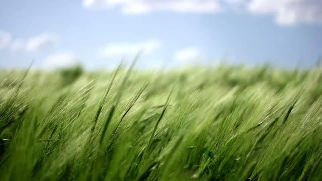 vídeos y material grabado en eventos de stock de prado de trigo. - trigo