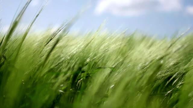 小麦の牧草地。 - 穀物 ライムギ点の映像素材/bロール