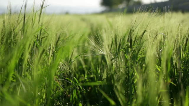 meadow of wheat. - appuntito video stock e b–roll
