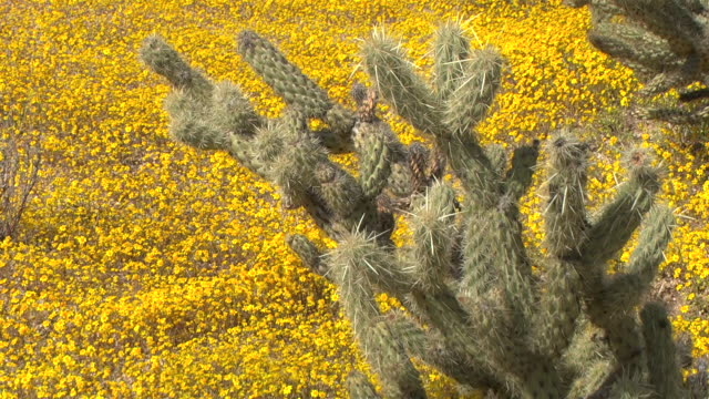 A meadow of wildflowers surrounds cacti in Joshua Tree National Park.