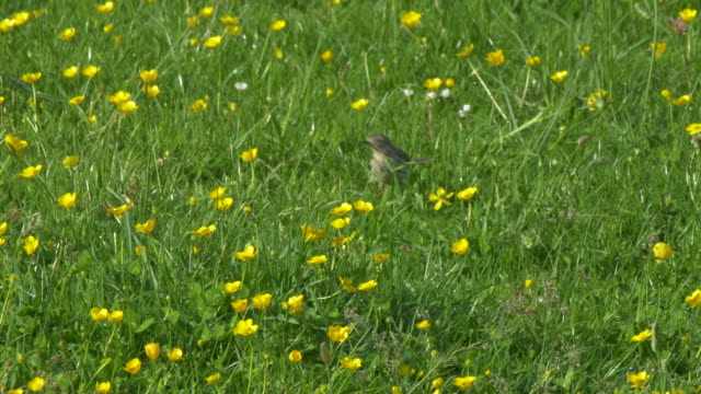 stockvideo's en b-roll-footage met meadow pipit bird (anthus pratensis) walking through a meadow of buttercups and foraging - ranonkel
