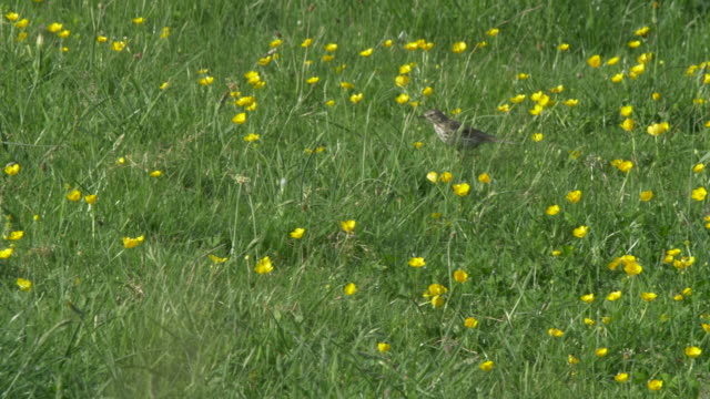 meadow pipit bird (anthus pratensis) walking through a meadow of buttercups and foreging - サウスダウンズ点の映像素材/bロール