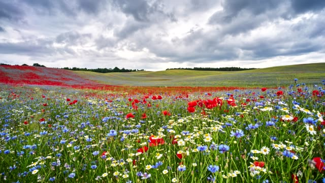 meadow time lapse - poppy plant stock videos and b-roll footage