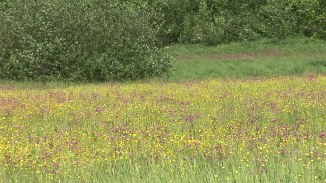 hd :meadow 植物 - ラナンキュラス点の映像素材/bロール
