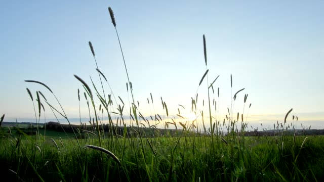 Meadow with blades of grass at sunset, Miltenberg, Franconia, Germany