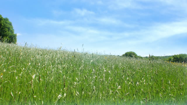meadow with blue sky. - grass family stock videos & royalty-free footage