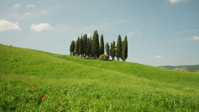 WS Meadow with cluster of cypress trees in background/ Tuscany