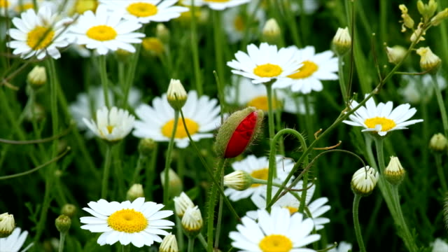 Meadow with daisy flowers and poppy