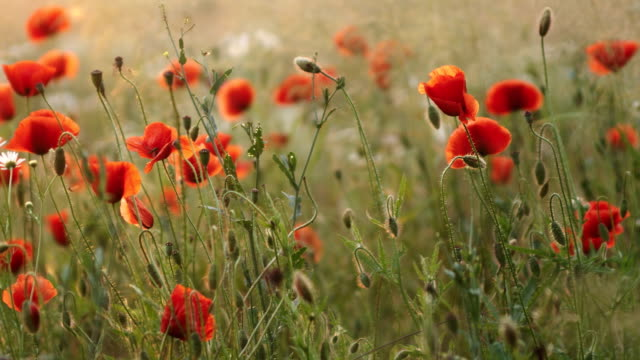 meadow with poppy flowers - recreational drug stock videos & royalty-free footage
